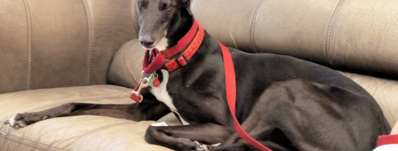 Penny Greyhound Rescue Wales