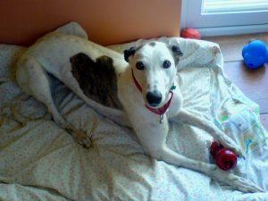 Queenie, Greyhound, Rescue