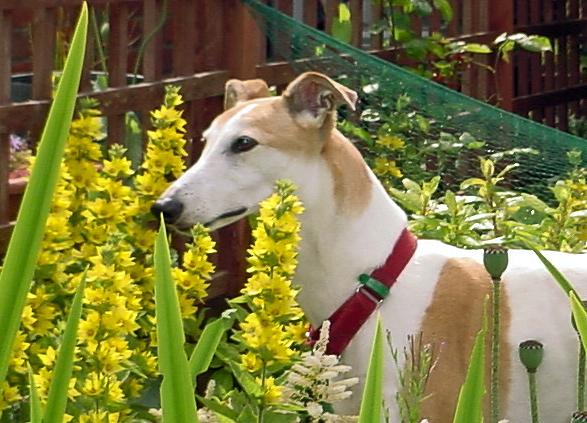 Sally Greyhound, Greyhound Rescue.
