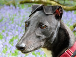 Penny, Greyhound, Bluebells