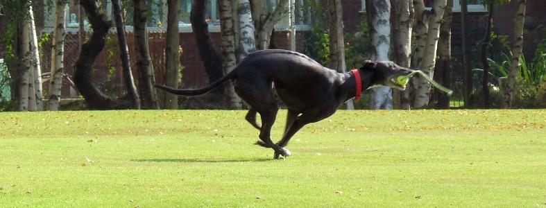greyhound, running, Penny, Crafty dog