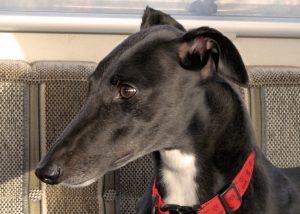 Greyhound, greyhound rescue, Crafty Dog,