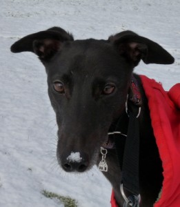Greyhound, Sammy, Snow