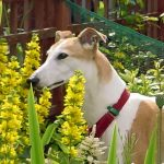 Sally Greyhound, Greyhound Rescue, Crafty Dog Cymru