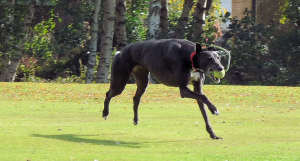 Low flying greyhound!