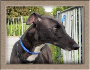 Penny, Greyhound, Rescue