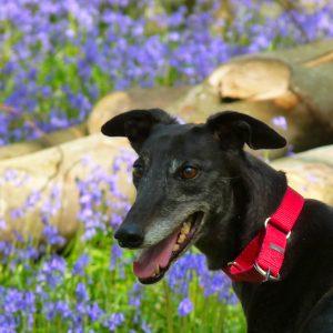 Penny, Greyhound,Bluubells